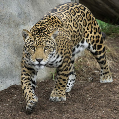 Wanna Play? (Penny Hyde) Tags: bigcat jaguar sandiegozoo flickrbigcats