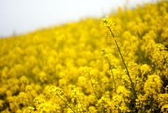 L1008466c (haru__q) Tags: leica m8 leitz summicron field mustard 菜の花