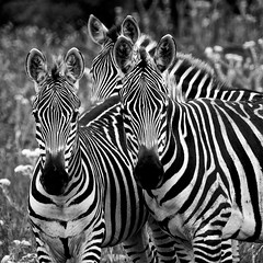 six ears are better than one (Pejasar) Tags: three zebras mammals stripes sixears cypressspringsranch texas