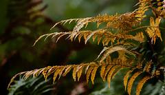 L'orange, couleurs d'automne. (mrieffly) Tags: orange fougres couleursdautomne bokeh canoneos50d 100400issriel