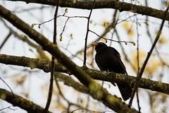 Amsel (Turdus merula) (martinjutzi) Tags: amsel birds wildlife turdusmerula switzerland