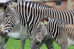 Grvy's zebra (Mike Serigrapher) Tags: chester zoo cheshire grvys zebra mare foal