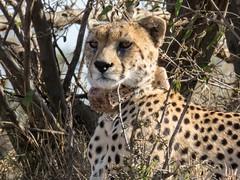 Nabiki II (Makgobokgobo) Tags: cheetah predator mammal naiboshoconservancy naibosho mara kenya africa acinonyxjubatus acinonyx