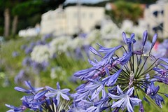 Agapanthes  Jersey (hboutrouille) Tags: fleurs agapanthe jersey flowers agapanthus