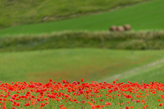 Green&rRed (Lupogrande25) Tags: poppies green red stripes castellucciodinorcia umbria italy nikkoraf80200f28 nikond610