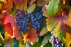 Weintrauben im Herbst (kathrin275) Tags: weintraube weinrebe weinstock wein herbst rotwein winegrapes grapevine redwine autumn weinberg vinyard rheingau