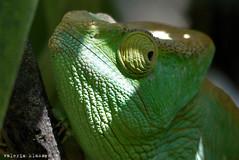 P1050156 (LaBonVampire) Tags: chameleon lizard reptiles animals nature leica leicalenses lumix