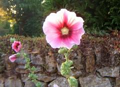 Dans la lumire du soir (MAPNANCY) Tags: rosetrmire soir lumire mur jardin