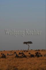 10078092 (wolfgangkaehler) Tags: 2016africa african eastafrica eastafrican kenya kenyan masaimara masaimarakenya masaimaranationalreserve wildlife grassland grasslands migration migrating antelope antelopes gnu wildebeestmigration wildebeest wildebeestherd wildebeests zebras plainszebrasequusquagga burchellszebra burchellszebraequusquagga burchellszebras