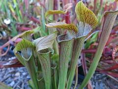 S. rubra ancestral Taylor Co, GA (meizzwang) Tags: srubraancestraltaylorco ga sweet trumpet pitcher plant georgia fall line county sarracenia