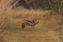 Black Backed Jackal (paulinuk99999 - just no time :() Tags: paulinuk99999 wildlife rvetlie game reserve park sal70400g south africa pretoria sepetmber 2016 black backed jackal rietvlie