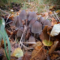 Что-то из навозников #plants #mushrooms #autumn #leaves #autumnlook
