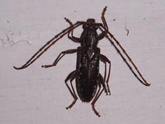 Longhorn beetle (Dis da fi we) Tags: beetle puntagorda toledodistrict belize longhornbeetle toledo hickateebelize hickateepuntagorda jungle rainforest forest wildlife culture cottages hickatee
