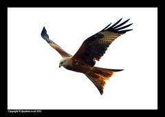 Red Kite (david_phil) Tags: kite birds nikon birdsofprey redkite dprphoto