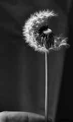 (hma2195) Tags: blackandwhite macro nikon dandelion wish nikond3100