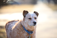 IMG_9622: Ziva On The Lookout (i_am_lee_sam) Tags: red senior foster heeler acd adoptable ziva