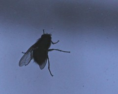 House Fly (btusdin) Tags: housefly 113in2013