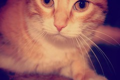 My life. (Perez.S) Tags: orange face animal cat canon eos cara gato naranja bigote animaldomstico 1100d canoneos1100d