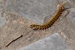 Cienpis (escolopendra - Scolopendromorpha) (Hachimaki123) Tags: animal myriapoda cienpis escolopendra scolopendromorpha scolopendracingulata