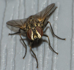 Frontal  of a Housefly (screaminscott) Tags: macro fly housefly