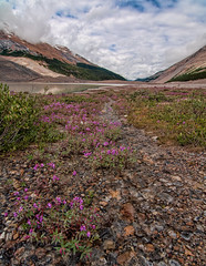 Below the Columbia Icefields (`James Wheeler) Tags: pink flowers wild summer plant canada motion flower ice nature wet water floral field rock stone creek river landscape flow outdoors leaf spring pond scenery stream branch blossom outdoor scenic meadow peaceful nobody columbia fresh fluid growth bloom flowing pure tranquil waterside icefields scenics freshness jaspernationalpark blooming canadianrockies blurredmotion