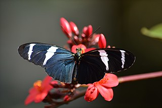 Glowing Heliconius antiochus is nectaring on Spicy Jatropha in early morning sunlight