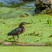 Green Heron in Elm Lake