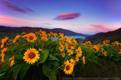 Alien Life (Darren White Photography) Tags: sunset sky nature clouds oregon canon spring northwest scenic columbiariver pacificnorthwest wildflowers blooms washingtonstate rowena balsamroot lenticularclouds 1635l darrenwhite outdoorphotographer northwestlandscapes darrenwhitephotography 5dmkii pacificnorthwestlandscapes landscapesofthenorthwest landscapesoforegon wildflowersoforegon