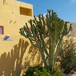 Large Euphorbia in Isala Tabarca