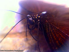 Macro Shot of a Black Butterfly (Chris McCormick Photography and Art) Tags: china travel macro butterfly photography flickr bugs iphone macrolens macrophotography incects iphone4 iphonephotography iphonelens uploaded:by=flickrmobile flickriosapp:filter=nofilter 坂田四季花城