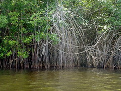 Mangroves - Cte d'Ivoire (UNEP Disasters & Conflicts) Tags: environment mangroves climatechange ctedivoire unep environmentalassessment unitednationsenvironmentprogramme unepmission uneppostconflictenvironmentalassessment environmentalexperts