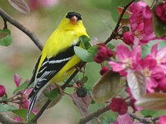 Gilding the Lily (JacquiTnature) Tags: pink flower nature yellow garden spring wildlife goldfinch blossoms wv finch bloom americangoldfinch carduelistristis songbirds profusion crabappletree passerine jacquit