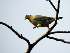 YELLOW-LEGGED GREEN WOOD PIGEON JUMPING FROM ONE BRANCH TO ANOTHER (PIJUSH KANTI BISWAS) Tags: allofnatureswildlifelevel1