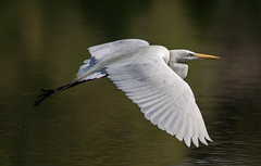 Graceful Gretta (pheαnix) Tags: bird minolta snowy g sony ngc flight apo 300mm npc delaware egret f4 hs bif a77 beckspond vigilantphotographersunite