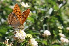 IMG_2883 (Peppe Astone) Tags: flowers summer flower animal animals butterfly spring butterflies natura sicily fiori fiore animali animale sicilia farfalla farfalle