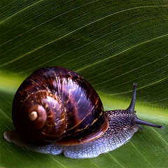 un portrait d'un escargot (Fat Burns) Tags: portrait macro wildlife shell snail gardenpest escargot mollusc australianwildlife gardensnail