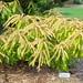 Pieris japonica 'Avalanche'