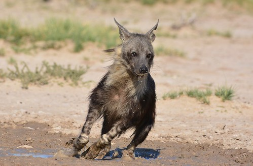 Brown Hyena (Hyaena brunnea)