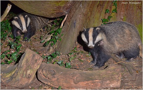 Badgers - Buckinghamshire