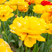 Burnside Tulip Farm 2013-7005.jpg