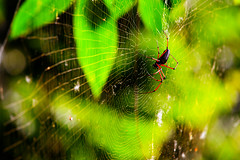 Spidey unknown. Again. (Risto Takala) Tags: forest spider leaf big foliage tropic redlegged 600d 70200f4isusm 14xextenderii