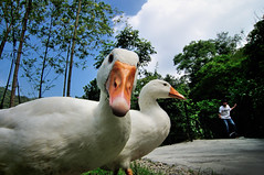 DSC_3850 (Pai Shih) Tags: animals goose gettyimagestaiwan12q3