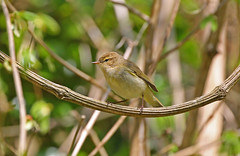 Chiffchaff (Phylloscopus collybita) (Veg_Brush) Tags: brown green bird nature animal closeup standing looking wildlife small vegetation perched creature staring warbler vertebrate vocal coelebs chiffchaff phylloscopus