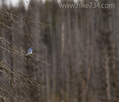 "Mountain Bluebird • <a style=""font-size:0.8em;"" href=""http://www.flickr.com/photos/63501323@N07/8712936320/"" target=""_blank"">View on Flickr</a>"