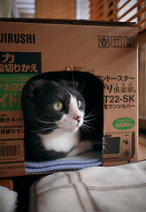Sachi's Cardboard House (Long Sleeper) Tags: portrait pet animal cat scottishfold tuxedocat sachi cardboardhouse dmcgf1