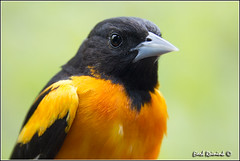 Northern Oriole (130515-0089) (Earl Reinink) Tags: portrait ontario canada art nature point photography nikon flickr photographer image images earl flikr warbler park provincial oriole d4 portrait art bird northernoriole nikon point rock photography images nature lens ontario canada ontbirds fine earl photographer lenses reinink reinink d4 niagara