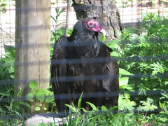 BlueHills_Zoo_TurkeyVulture_001 (*Ice Princess*) Tags: bird nature boston massachusetts vulture turkeyvulture bluehillsreservation