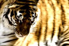 IMG_6719ltsm (eslingermj) Tags: feline tiger bigcats athos keenesburg thewildanimalsanctuary mjeslinger eslingermj mjesli
