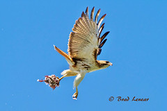 Red Tailed Hawk (ghostrider_200) Tags: nature birds canon flickr hawk birding northcarolina raptor redtailed avian birdofprey bif hawks redtailedhawk birdwatchers canon7d