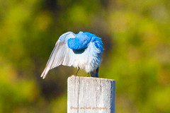 WHICH POCKET DID I PUT THAT IN? (Aspenbreeze) Tags: bird wildlife mountainbluebird wildbird bluebrid moonandbackphotography bevzuerlein
